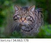 RF - European wildcat (Felis silvestris silvestris) portrait, captive... Стоковое фото, фотограф Ernie Janes / Nature Picture Library / Фотобанк Лори