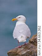 Glaucous gull (Larus hyperboreus), Kolyuchin Island, Chukchi Sea, Russia. Стоковое фото, фотограф Jenny E. Ross / Nature Picture Library / Фотобанк Лори