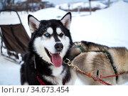 Dog breed Siberian Husky. Редакционное фото, фотограф Вита Фортуна / Фотобанк Лори