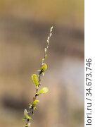 Spring willow branch. Стоковое фото, фотограф Argument / Фотобанк Лори