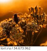 Жук сидит на цвеике освещённый контровым солнцем. Стоковое фото, фотограф Игорь Низов / Фотобанк Лори