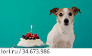 Dog sits near delicious birthday cake with fresh berries. Стоковое видео, видеограф Ekaterina Demidova / Фотобанк Лори