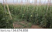 Closeup of fresh green tomatoes ripening on supporting stakes on field. Organic vegetables cultivation. Стоковое видео, видеограф Яков Филимонов / Фотобанк Лори