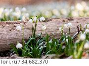 Lots of white spring-flowering flowers of spring snowflake (Leucojum... Стоковое фото, фотограф Zoonar.com/Artush Foto / easy Fotostock / Фотобанк Лори