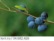 Schwarzdorn, Prunus spinosa, Blackthorn, Black haw, Frucht, Früchte. Стоковое фото, фотограф Zoonar.com/Gerd Herrmann / easy Fotostock / Фотобанк Лори