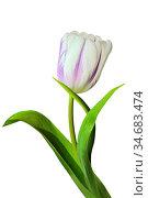 Single elegant white with purple tulip flower with green leaves close... Стоковое фото, фотограф Zoonar.com/Rvo233 / easy Fotostock / Фотобанк Лори