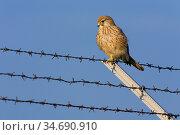 Turmfalke (Falco tinnunculus), Deutschland, sitzend auf Zaun, Stacheldraht... Стоковое фото, фотограф Zoonar.com/Carsten Braun / age Fotostock / Фотобанк Лори