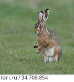 Brown Hare / European Hare / Feldhase ( Lepus europaeus ) sitting... Стоковое фото, фотограф Ralf Kistowski / age Fotostock / Фотобанк Лори