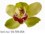Orchidee: Cymbidiumblüte, isoliert. Cymbidium flower, isolated. Стоковое фото, фотограф Zoonar.com/Dr. Baumgärtner, 2019 / easy Fotostock / Фотобанк Лори
