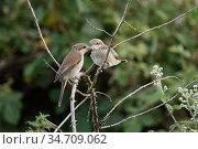 Red-backed Shrike ( Lanius collurio ), adult female feeding young... Стоковое фото, фотограф Ralf Kistowski / age Fotostock / Фотобанк Лори