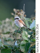 Red-backed Shrike ( Lanius collurio ), adult male, perched on a dry... Стоковое фото, фотограф Ralf Kistowski / age Fotostock / Фотобанк Лори