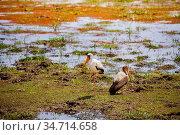 Two Yellow-billed stork Ibis birds in Kenya. Стоковое фото, фотограф Сергей Новиков / Фотобанк Лори