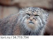 Portrait of beautiful cat, Pallas's cat, Otocolobus manul resting... Стоковое фото, фотограф Zoonar.com/Artush Foto / easy Fotostock / Фотобанк Лори