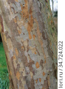Patterned bark of the Japanese Stewartia tree (Stewartia pseudocamellia) Стоковое фото, фотограф Nigel Cattlin / Nature Picture Library / Фотобанк Лори