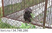 Грустный медведь в клетке зоопарка. Редакционное видео, видеограф Владислав Сабанин / Фотобанк Лори