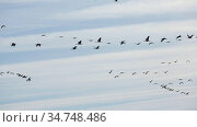 Large flock of cranes flying in blue spring sky. Bird migration time. Стоковое видео, видеограф Яков Филимонов / Фотобанк Лори