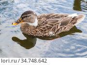 The mallard, a dabbling duck floating on water. Стоковое фото, фотограф EugeneSergeev / Фотобанк Лори