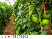 Green tomatoes grow in rows in a greenhouse. Стоковое фото, фотограф Яков Филимонов / Фотобанк Лори