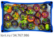 Harvested partially ripened blue tomatoes in plastic boxes. Стоковое фото, фотограф Яков Филимонов / Фотобанк Лори