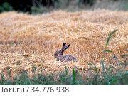Hase, Feldhase auf Stoppelfeld. Стоковое фото, фотограф R4299 Reiner Bernhardt / age Fotostock / Фотобанк Лори