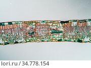 Trauerweide Blatt Querschnitt 100x. Стоковое фото, фотограф Zoonar.com/Dr. Norbert Lange / easy Fotostock / Фотобанк Лори