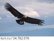 Andean condor (Vultur gryphus) Torres del Paine, Chile. Стоковое фото, фотограф Jeff Vanuga / Nature Picture Library / Фотобанк Лори
