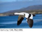 Kelp goose (Chloephala hybrida) in flight, New Island, Falkland Islands. Стоковое фото, фотограф Jeff Vanuga / Nature Picture Library / Фотобанк Лори