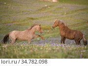 Stallion wild horses fighting for territory in the Pryor Mountains on the border of Wyoming / Montana, USA. July 2014. Стоковое фото, фотограф Jeff Vanuga / Nature Picture Library / Фотобанк Лори