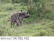 Striped hyena (Hyaena hyaena) mating in Nakuru National Park, Kenya. Стоковое фото, фотограф Jeff Vanuga / Nature Picture Library / Фотобанк Лори