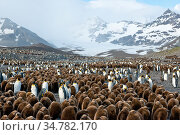 King penguin (Aptenodytes patagonicus) colony with a population of 200,000 birds at St. Andrews Bay, South Georgia Island, Antarctica. Стоковое фото, фотограф Jeff Vanuga / Nature Picture Library / Фотобанк Лори