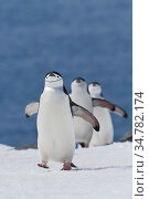 Chinstrap penguins (Pygoscelis antarcticus) coming ashore in line, Half Moon Bay, Antarctica. Стоковое фото, фотограф Jeff Vanuga / Nature Picture Library / Фотобанк Лори
