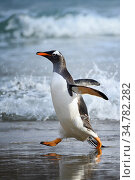 Gentoo penguin (Pygoscelis papua) emerging from ocean surf at Grave Cove, Falkland Islands. Стоковое фото, фотограф Jeff Vanuga / Nature Picture Library / Фотобанк Лори