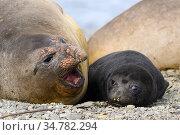 South elephant seal (Mirounga leonina) pup and mother, Undine Harbor, South Georgia Island, Antarctica. Стоковое фото, фотограф Jeff Vanuga / Nature Picture Library / Фотобанк Лори