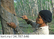 Woman making an angled cut through the bark of a rubber tree to tap into the latex vessels in the bark of a rubber tree, Malaysia, February. Стоковое фото, фотограф Nigel Cattlin / Nature Picture Library / Фотобанк Лори