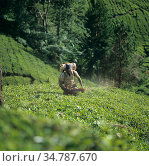 Worker using a portable mist blower to treat tea plants in a steeply sloping planbtation in the Cameron Highlands, Malaysia, February. Стоковое фото, фотограф Nigel Cattlin / Nature Picture Library / Фотобанк Лори