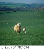 Border Leicester ewe sheep with single mule lamb on large downland pasture with the flock behind, Wiltshire. Стоковое фото, фотограф Nigel Cattlin / Nature Picture Library / Фотобанк Лори