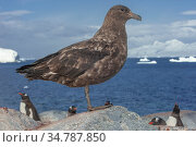 Brown skua (Stercorarius antarcticus), Ronge Island, Antarctica. Стоковое фото, фотограф Jeff Foott / Nature Picture Library / Фотобанк Лори