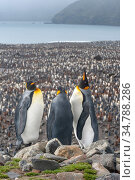 King Penguin (Aptenodytes patagonicus) colony at Salisbury Plain, South Georgia.   View down on the vast numbers. Стоковое фото, фотограф Jeff Foott / Nature Picture Library / Фотобанк Лори