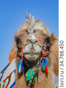 Bactrian camel at the Eagle Hunters festival near Ulgii Western Mongolia. Стоковое фото, фотограф Jeff Foott / Nature Picture Library / Фотобанк Лори