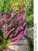 Цветущий вереск обыкновенный (лат. Calluna vulgaris) на клумбе в саду. Стоковое фото, фотограф Елена Коромыслова / Фотобанк Лори