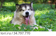 Alaskan Malamute dog with its tongue hanging out lies in the green grass on a sunny summer day. Стоковое видео, видеограф Алексей Кузнецов / Фотобанк Лори
