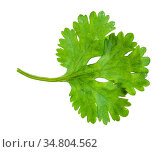 Green leaf of fresh cilantro herb isolated on white background. Стоковое фото, фотограф Zoonar.com/Valery Voennyy / easy Fotostock / Фотобанк Лори