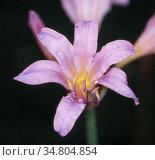 Spinnenlilie mit violetter Blüte und Staubfäden. Стоковое фото, фотограф Zoonar.com/Dr. Norbert Lange / easy Fotostock / Фотобанк Лори