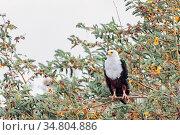 African Fish Eagle perched on tree, Haliaeetus vocifer, sitting on... Стоковое фото, фотограф Zoonar.com/Artush Foto / easy Fotostock / Фотобанк Лори