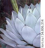 Agave Arzneipflanze in der Wüste. Стоковое фото, фотограф Zoonar.com/Dr. Norbert Lange / easy Fotostock / Фотобанк Лори