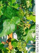 Vogelschutznetz für grüne Weintrauben am Weinstock - Nahaufnahme. Стоковое фото, фотограф Zoonar.com/Alfred Hofer / easy Fotostock / Фотобанк Лори