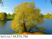 Willow on shore of lake in Moscow landscape park in golden autumn. Russia (2020 год). Стоковое фото, фотограф Валерия Попова / Фотобанк Лори