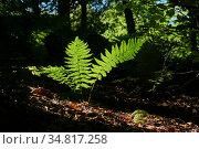 Fern brightly lit by a sunbeam in the middle of a dark forest undergrowth. Стоковое фото, фотограф Евгений Харитонов / Фотобанк Лори