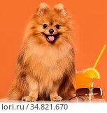 Adorable, furry spitz with juice. Стоковое фото, фотограф Zoonar.com/Yeko Photo Studio / easy Fotostock / Фотобанк Лори