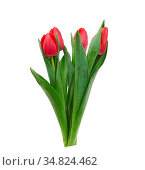 Blooming red tulips with green leaves and stem isolated on white background... Стоковое фото, фотограф Zoonar.com/Danko Natalya / easy Fotostock / Фотобанк Лори